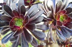 Aeoniun arboreum atropurpureum Royalty Free Stock Photo