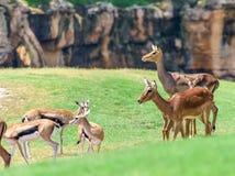 Aepyceros africano Melampus del impala Imágenes de archivo libres de regalías