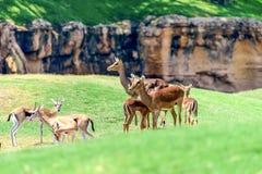 Aepyceros africano Melampus del impala Fotos de archivo