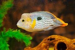 Aequidens rivulatus. Green Terror Cichlid. In aquarium Stock Photos