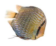 aequifas dyska ryba czerwony symphysodon turkus Fotografia Stock
