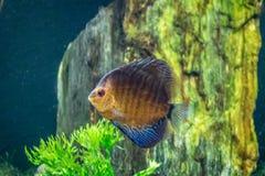 Aequifasciatus anaranjado y azul de Symphysodon de los pescados del disco Foto de archivo libre de regalías