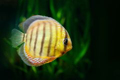 Aequifasciatus de Symphysodon, disco azul, peixe na água Pesque no habitat do rio da natureza, vegetação verde, Amazonas, Brasil fotografia de stock