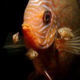 aequifasciatus viejo de Symphysodon de 17 de los días del bebé pescados del disco con los padres Imagen de archivo