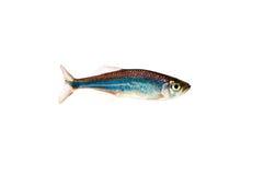 aequipinnatus danio ryba malabaricus Zdjęcie Royalty Free