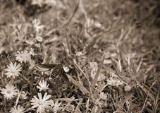 Aereal-Ansicht, Makrofoto einer Biene, die eine kleine weiße und gelbe Blume bestäubt Lizenzfreie Stockbilder