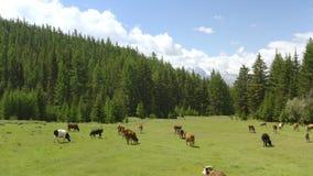 Aereo - paesaggio alpino pittoresco in primavera con le mucche sulla bella vista del pascolo stock footage
