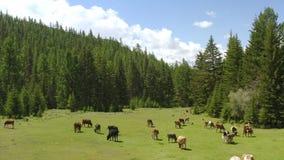 Aereo - paesaggio alpino pittoresco in primavera con le mucche sulla bella vista del pascolo video d archivio