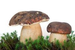 aereus牛肝菌蕈类可食var 库存图片