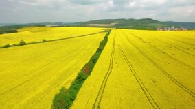 Aerial panoramic view above blooming yellow rapeseed field. Aerial view with background of blue sky and clouds. Italy. Aerial above blooming yellow rapeseed stock video footage