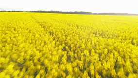 Aerial view of canola rapeseed field blossoming. Drone flying circling over field. Aerial above view of canola rapeseed field blossoming. Drone shot. Yellow stock video footage