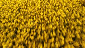 Aerial above view of canola rapeseed field blossoming. Drone flying fast and low. Aerial above view of canola rapeseed field blossoming. Drone shot. Yellow stock video