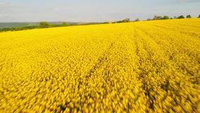 Aerial above view of canola rapeseed field blossoming. Drone flying forward. Aerial above view of canola rapeseed field blossoming. Drone shot. Yellow background stock video