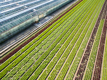 Aerial agricultural view of lettuce production field and greenho Royalty Free Stock Photo