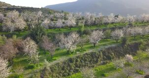 Aerial of almond tree garden on a slopes of Troodos mountains, Cyprus at sunset