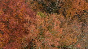 AERIAL: autumn leaves falling from trees by wind made of drone stock footage