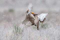 Aerial battle between two prairie chickens Stock Photo