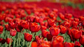 Aerial of beautiful colorful tulip field.  stock footage