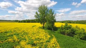 Aerial: beautiful Russian field of yellow flowers in the summer. Birch tree near lake. HD slowmotion. Aerial view: flying over a field of yellow flowers in the stock footage