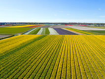 Aerial from blossoming tulip fields in the countryside from the Stock Photos