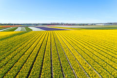Aerial from blossoming tulip fields in the Netherlands Stock Photos