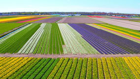 Aerial from blossoming tulip fields in the Netherlands. Europe stock footage