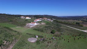 Aerial from a cattle of cows in Portugal stock video footage