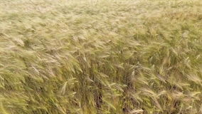 AERIAL CLOSEUP: Flying over the wheat field in afternoon sun stock video footage