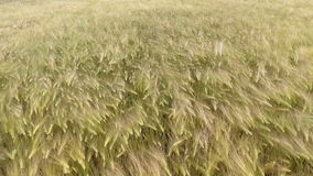AERIAL CLOSEUP: Flying over the wheat field in afternoon sun stock footage