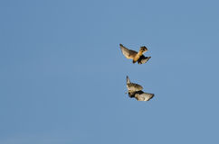 Aerial Combat Between a Northern Harrier and Red-Tailed Hawk Royalty Free Stock Photo