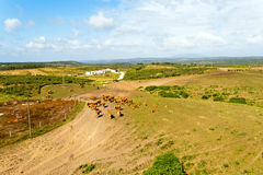 Aerial from cows in the countryside from Portugal Stock Images