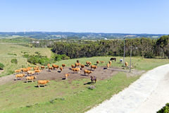 Aerial from cows in the countryside from Portugal Royalty Free Stock Photo