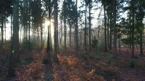 Aerial drone clip rising out of a forest at sunrise or sunset, shot into the sun with lens flare. Stabilized aerial drone clip rising out of a forest at sunrise stock footage