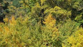 Aerial drone flying over ginkgo forest in early autumn season in Taiwan. Aerial drone flying over ginkgo forest in early autumn season in Taichung, Taiwan with stock video footage