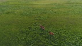 Aerial drone footage of two horses runing in green field. Slow motion. HD stock footage