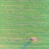 Aerial drone photo of green country field with row lines and tree. Top view. Royalty Free Stock Image