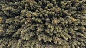 Aerial drone shot over coniferous forest stock video footage