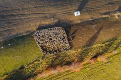 Aerial drone shot of sheep royalty free stock photography