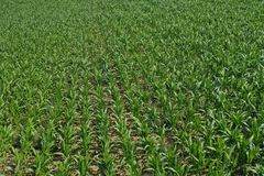 Free Aerial Drone Top Down View On Young Green Corn Plants Growing In Rows On Cornfield Stock Photos - 161620893