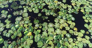 Aerial view of duckweed covering the surface of a pond. Aerial drone top view of duckweed covering the surface of a pond stock footage