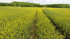 AERIAL: drone video clip flying across field of yellow flowers and trail 4k. AERIAL: drone video clip flying across field of yellow flowers and trail stock footage