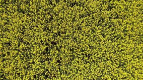 Aerial drone video clip flying across rapeseed field stock video footage