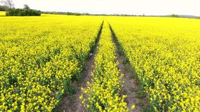 Aerial drone video clip tracking path or tracks through field of rapeseed yellow flowers in the countryside stock footage