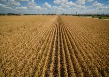 Aerial drone view above Corn Crops long rows of corn dry drought climate change. Repeat patterns Royalty Free Stock Photo