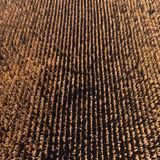 Aerial drone view from above of corn field after harvest.  in autumn Royalty Free Stock Photography