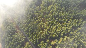 Aerial drone view from above on rural country road among evergreen coniferous pine forest covered with fluffy morning stock video footage