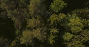 Aerial drone view of forest from the sky, above trees and roads. Russian landscape with pines and fir, sunny day in wild stock video footage