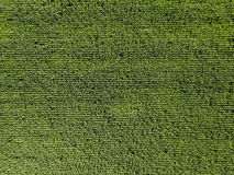 Aerial Drone View Of Green Corn Plantation stock image