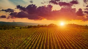 Free Aerial Drone View Of Wineyards Fields From The Top At The Sunset. Drone Aerial View Concept. Stock Image - 101551111