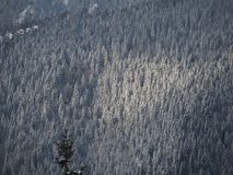 Aerial drone view of the snow-covered woods after a snowfall. Italian Alps royalty free stock photo